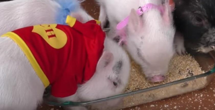 Mini Pigs chanchitos miniatura