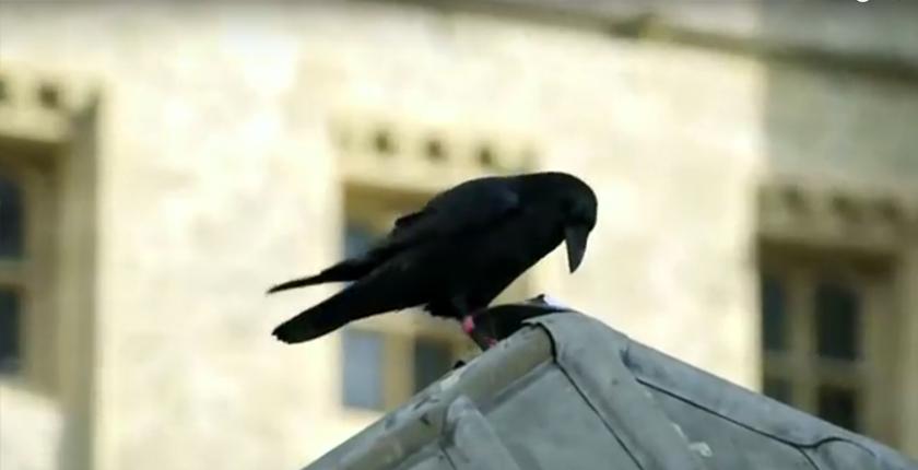 Cuervos de Londres